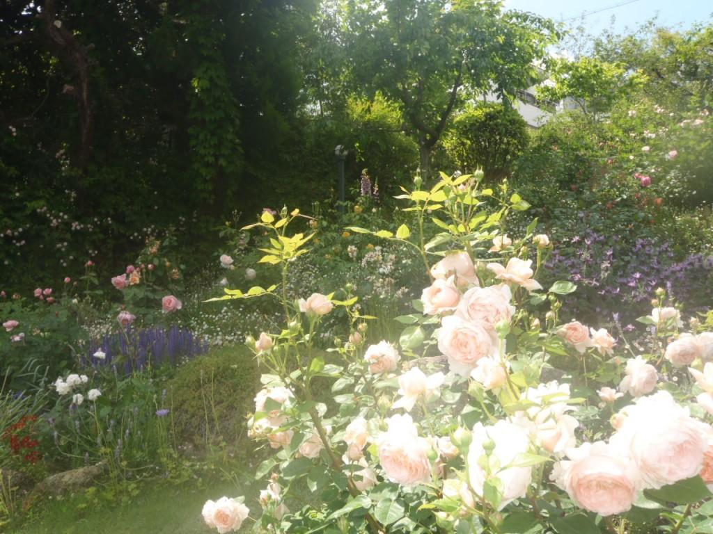Y様邸 芦屋市バラ庭園管理