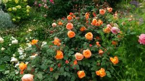 今年もバラが立派に咲きました